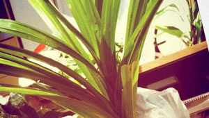 My-very-own-pandan-plant