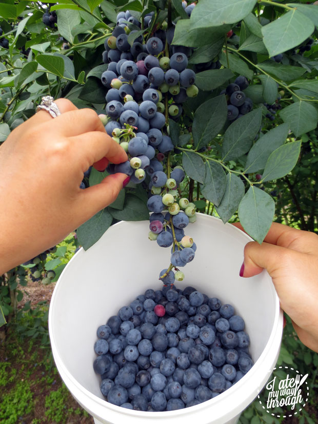 Picking blueberries, Clyde River Berry Farm