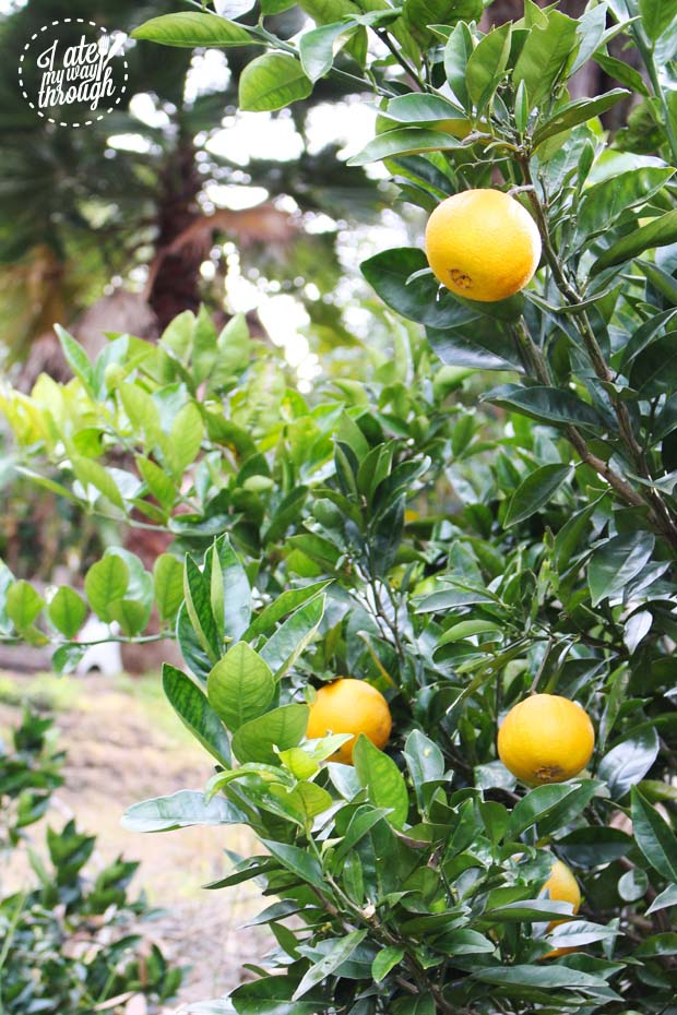 Bombini Lemon Tree