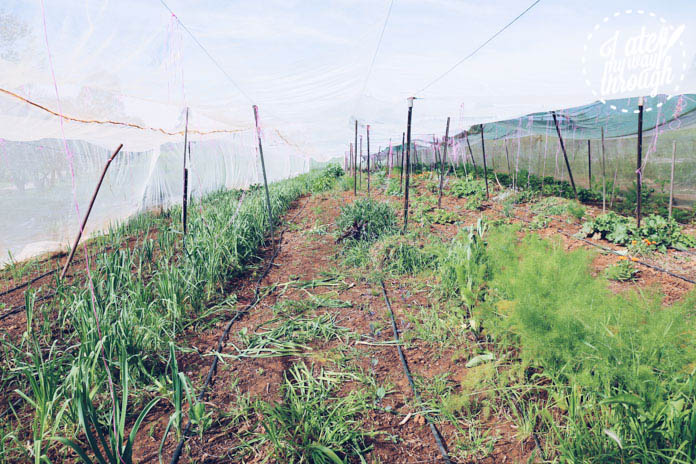 Fennel, pencil leeks and more