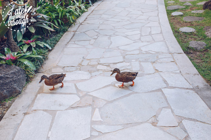 Ducks waddling by within Hilton Hawaiian Village
